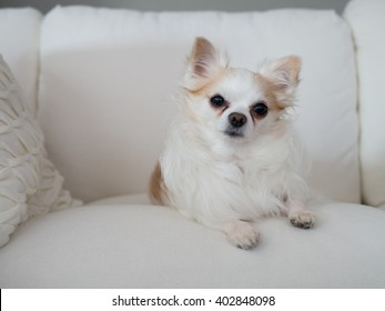 White small dog laying on white sofa with pillows