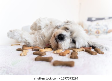 White, small dog lies on a couch full of dog biscuits. Dog with cookies.