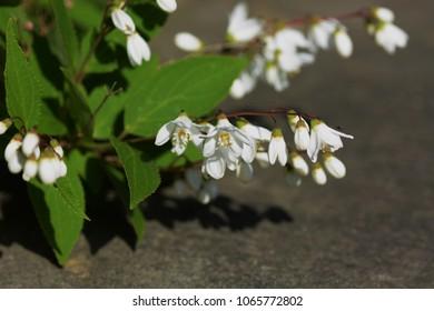 "White small elegant flowers""Slender deutzia"""