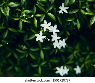 White small flowers with green leaves of a plant natural photo