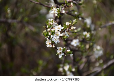 White small flowers on a blossom blackthorn shrub