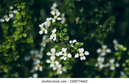 White small flowers of a plants natural photo
