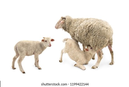White small lambs is feeded of his mother sheep (Ovis aries) on a white background