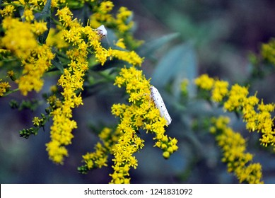 White small moss sitting on solidago canadensis (Canada goldenrod, Canadian goldenrod) blurry background, close up detail, top view