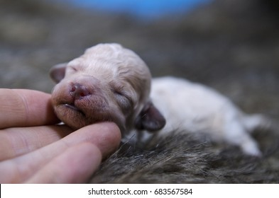 White small newborn puppy being held by a hand for scale.