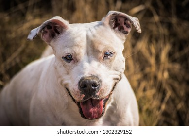 White smiling dog on a meadow