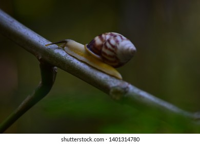 White snails are crawling. Look from the side of the face of a snail - The life of a white snail in the wild. The background of the snail is slow. photography wildlife