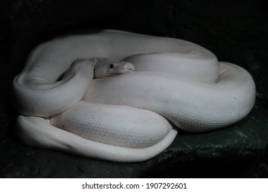 white snake curled up in a ball in a dark room.