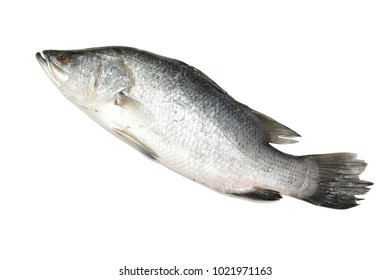 White Snapper isolated