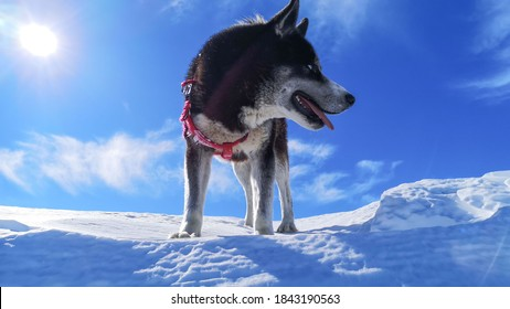 white snow and a black dog and blue sky