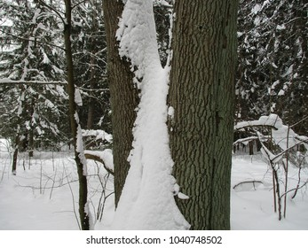 White snow and black forest