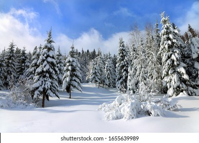 White snow covered spruces in the Carpathian mountains.
