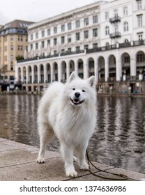 white snow dog, called samoyed breed.