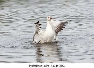 white snow goose at burnaby lake park , Vancouver BC Canada