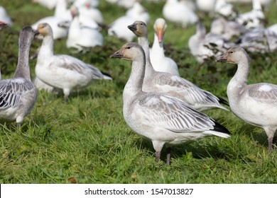 White Snow Goose juvenile at Richmond British Columbia Canada