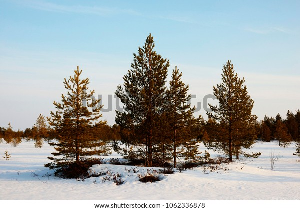 white snow and green pines under the blue sky