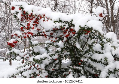 White snow on green bush with red berry