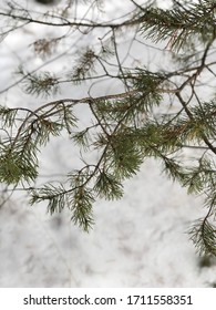 White snow in the winter forest.  green tree pine branches