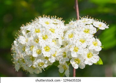 Snowball Flower Images Stock Photos Vectors Shutterstock