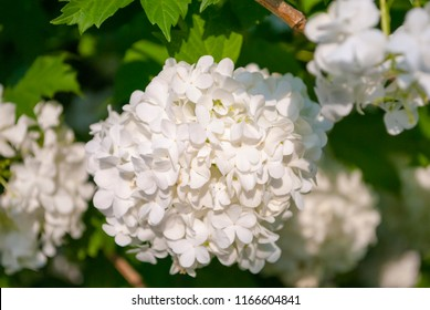 Snowball bush images stock photos vectors shutterstock white snowball flowers blooming guelder rose tree viburnum opulus lush white flower bush mightylinksfo