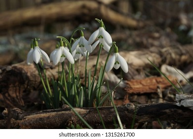 white snowdrop flowers as a first sign of early spring cover the forest floor and peek through the fallen leafs of the year before