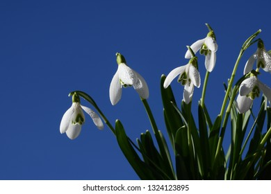 white snowdrops in the blue sky