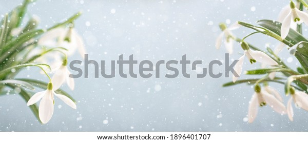 White snowdrops on a blue background with copy space, selective focus. Banner