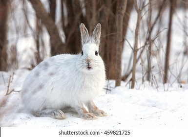 White Snowshoe hare or Varying hare close-up sitting in the snow in a Canadian winter