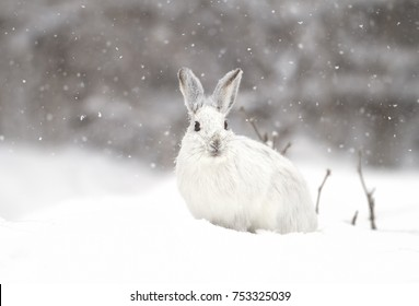 White Snowshoe hare or Varying hare in the falling snow in Canada