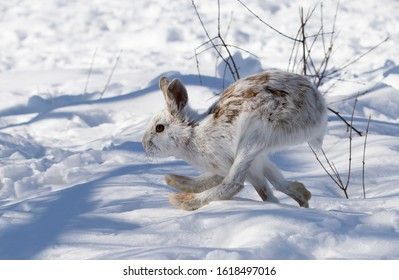 White Snowshoe hare or Varying hare isolated on white background running in snow in Canada