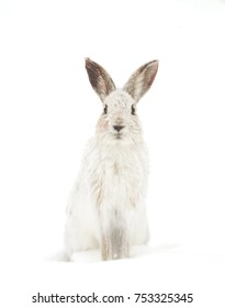 White Snowshoe hare or Varying hare isolated on white background closeup in winter looking at camera in Canada