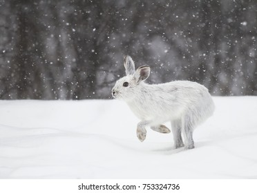 White snowshoe hare or Varying hare running in the falling snow in a Canadian winter