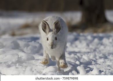 White Snowshoe hare or Varying hare running towards the camera in the winter snow in Ottawa, Canada
