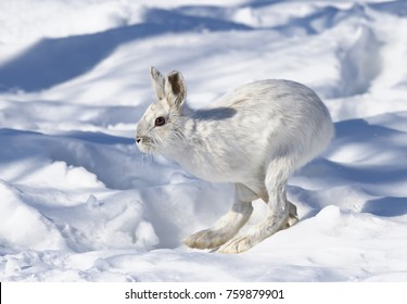White Snowshoe hare or Varying hare running in the winter snow in Canada