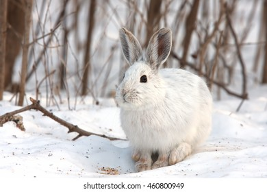 White snowshoe hare or Varying hare standing in the snow with a white coat in winter in Canada