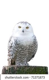 white snowy owl sitting on a stump on white background