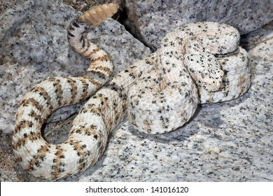 The WHITE Southwestern Speckled Rattlesnake (Crotalus mitchelli pyrrus) exists only in a single restricted mountain range. Amazingly well-camouflaged in the white granite in Arizona, USA.