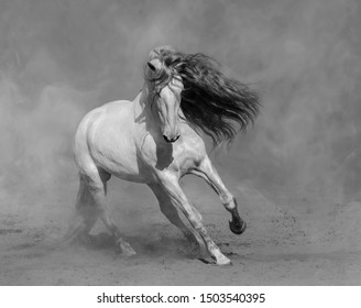 White Spanish horse plays on sand in dust.