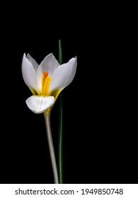 White species crocus isolated on black. Revealing stamens inside.