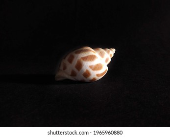 white speckled shell on dark black background