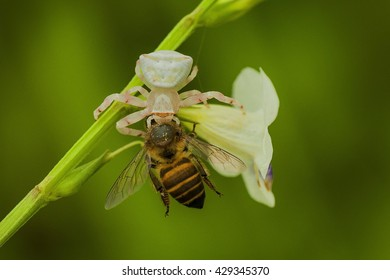 white spider eating bee