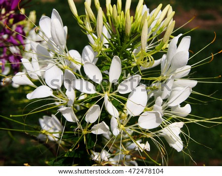 White Spider Flower Cleome Spinosa Stock Photo Edit Now 472478104