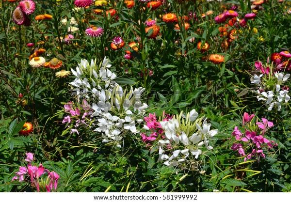 White spider flowers in the garden