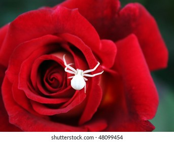 White spider on The red Rose