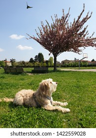 A white Spinone Italian dog in the foreground laying down on the grass in a park on a sunny day in Milan, Italy. Benches, pink tree, bird, basketball hoop, and residential houses in the background.
