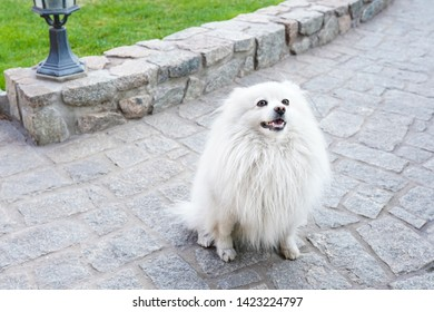 white spitz dog on green nature background, copy space