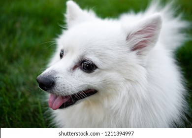 Royalty Free Pomeranian For A Walk Images Stock Photos Vectors