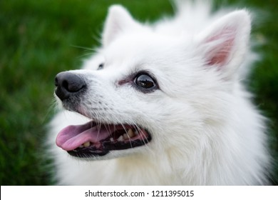 white spitz for a walk. Cute fluffy puppy of the German Spitz Pomeranian plays for a walk in nature.