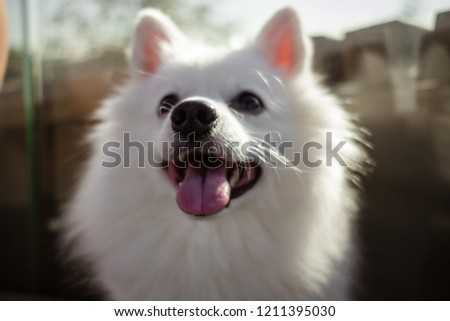 white spitz walk cute fluffy puppy stock photo edit now 1211395030