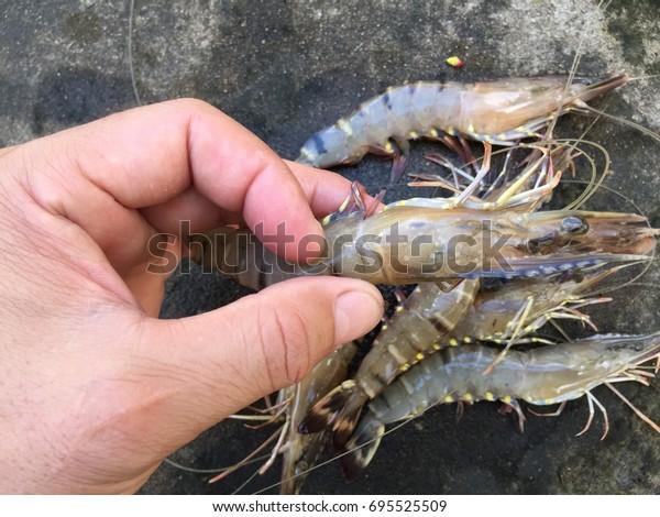 White spot syndrome virus (WSSV) in black tiger shrimp, Penaeus monodon